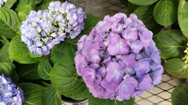 gs5purple-flowers