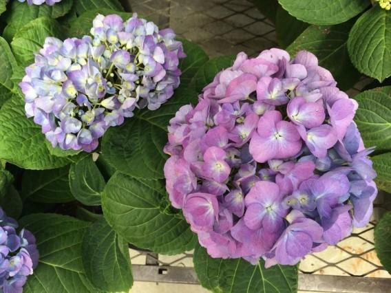 iphone5spurple-flowers